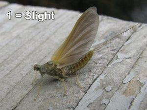 Slight Mayflies