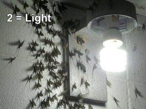 Light Mayflies